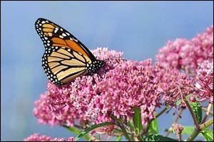 Monarch Butterfly (Danaus plexippus) on Swamp Milkweed Wildflowe