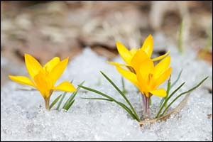 Flowers bloom through the snow